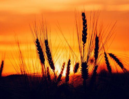 Новые средства защиты зерновых культур