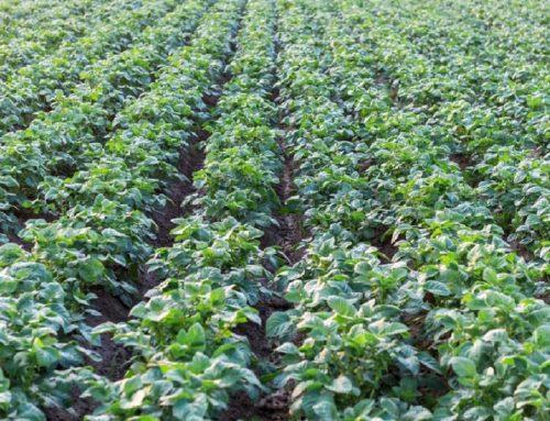 Регионы лидеры по картофелеводству